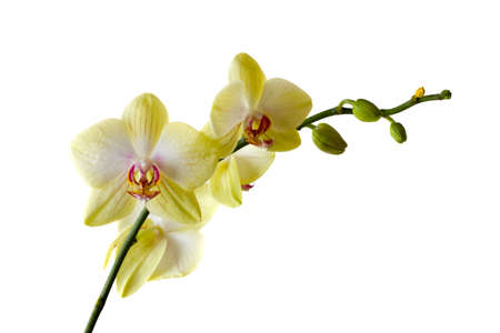 Yellow orchid close up, isolatrd on white photo