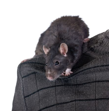 Black domestic rat on a shoulder of the person photo