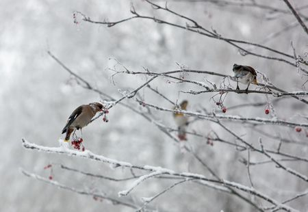 birds on branches of a rowan in the winter photo