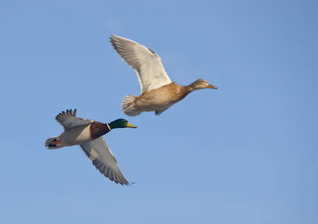 mallard: Pair of ducks in flight against the sky Stock Photo