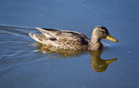 Duck in blue water close up (female) photo