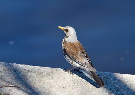 fieldfare on a parapet at water photo