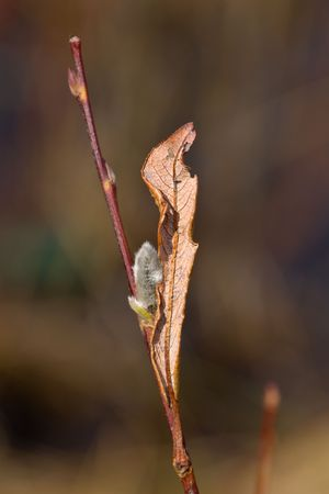 Branch of a blossoming willow with dry leaf photo