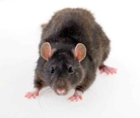 rata: Retrato de una joven rata negra sobre fondo blanco