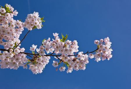 Branch of an japanese cherry in the spring against the sky photo
