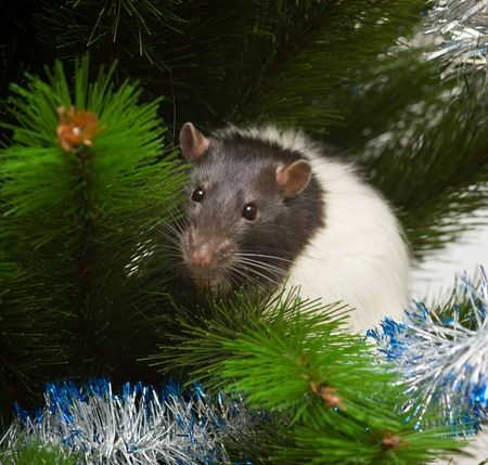 year of rat: domestic rat among the boughs of a new year tree