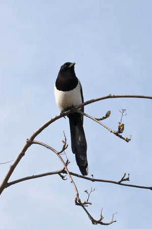 magpie on a spring branch against the sky Stock Photo - 7000573