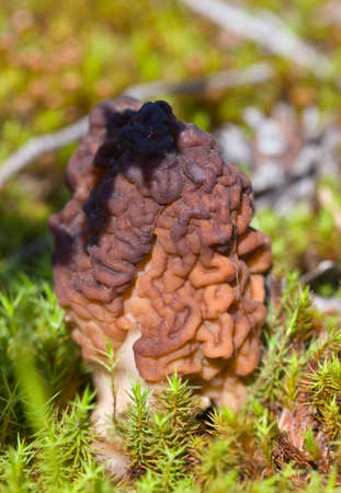 conditionally: Conditionally edible fungi Gyromitra esculenta close up
