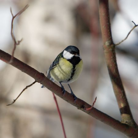The titmouse sits on a branch (Parus major) Stock Photo - 7229784
