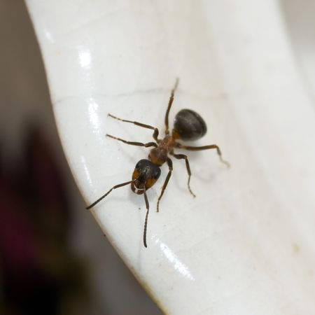 pismire: Ant on a white cup close up Stock Photo