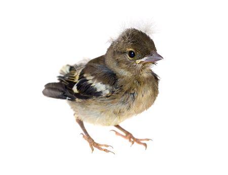 chaffinch: Bambino piccolo uccello di un fringuello, isolato