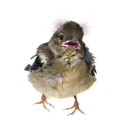 chaffinch: Small baby bird of a chaffinch, isolated Stock Photo