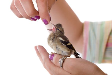 chaffinch: Feeding of a baby bird chaffinch from hands