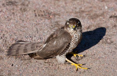 Pernis apivorus - bird from group of the falcon photo