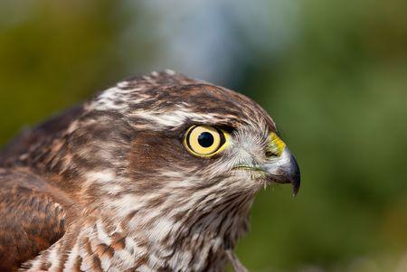 portrait of Pernis apivorus - bird from falcon group  photo
