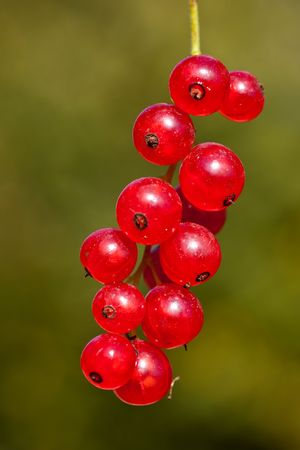 Cluster of a red currant on a green background photo