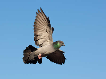 pigeons: Pigeon en vol contre le ciel bleu  Banque d'images