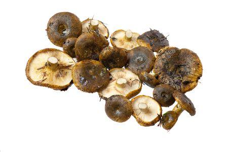 lactarius: Lactarius necator mushrooms close up on white background
