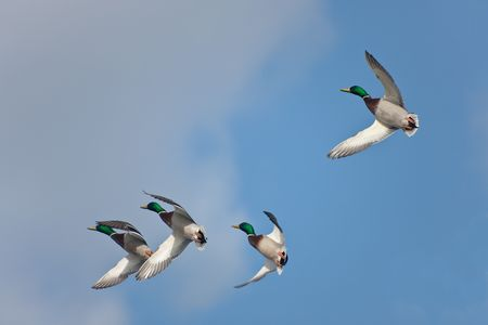 flock of wild ducks in flight on turn photo