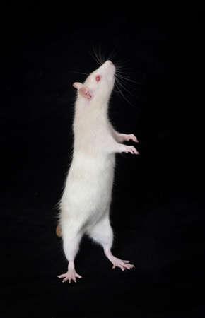 rats: Ratto interno bianco su sfondo nero Archivio Fotografico