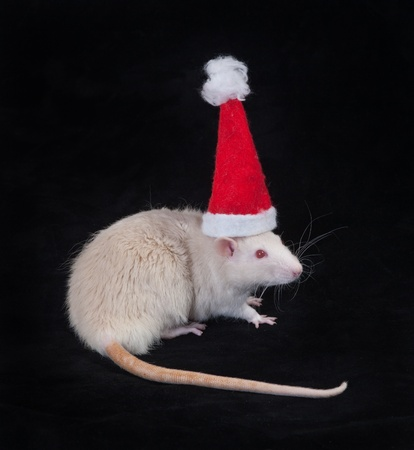 White domestic rat in a cap of Santa Claus photo