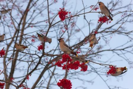 rowan: flock of waxwings on a rowan in the winter