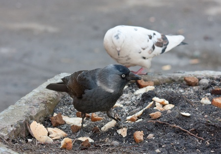 The jackdaw and pigeon search for meal Stock Photo - 8803179