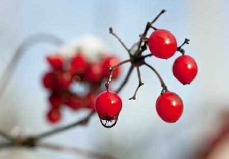 guelderrose: Wet branch of a guelder-rose with ripe berries