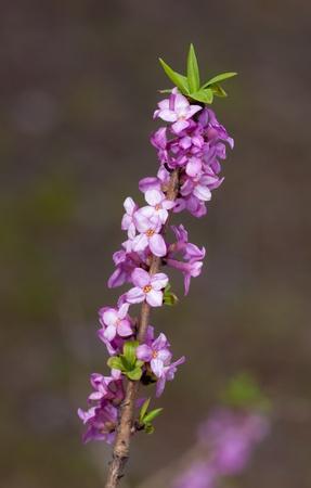 daphne: Daphne floreciente cerca en la primavera Foto de archivo