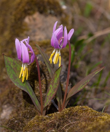 small spring flowers on moss close up Stock Photo - 9228193