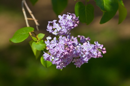 Spring branch of a lilac close up photo