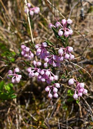 palustre: Spring Labrador tea in the flowering beginning (Ledum palustre)