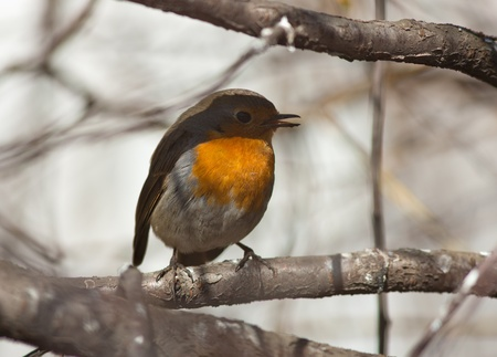 Singing robin on a tree branch in spring Stock Photo - 9343222