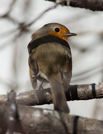 Portrait of a curious robin on a tree branch photo