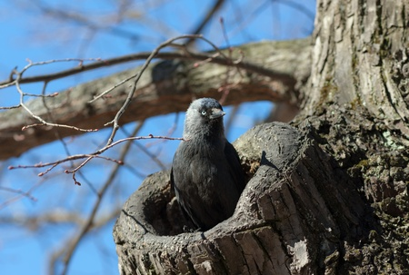 The jackdaw in a tree hollow protects a nest Stock Photo - 9380109