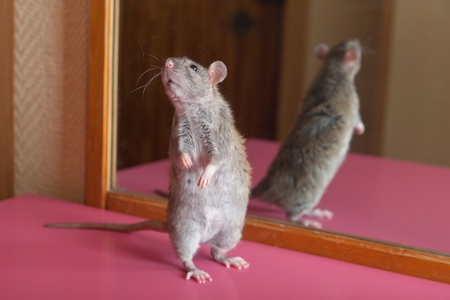 Brown house rat and its reflection in a mirror photo