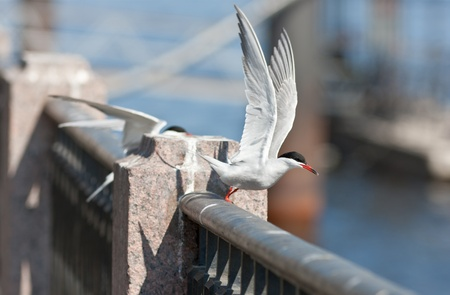 parapet: The tern flies up from a parapet at the river Stock Photo