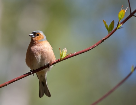 warblers: The chaffinch on a branch of a tree in the spring