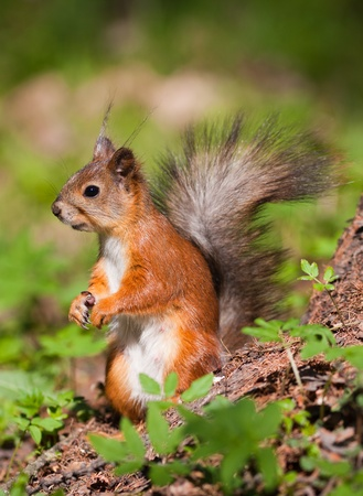 The squirrel in the spring among greens