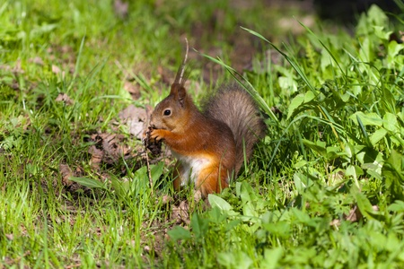 The squirrel in a spring grass eats the cone photo