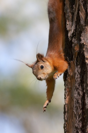 The squirrel hangs on a tree headfirst Stock Photo - 9636209