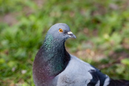 Portrait of a gray pigeon close up photo