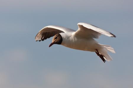 larus ridibundus: Lonely seagull in flight against the sky (Larus ridibundus) Stock Photo