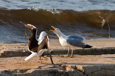 Two seagulls on seacoast, Larus argentatus and Larus marinus photo