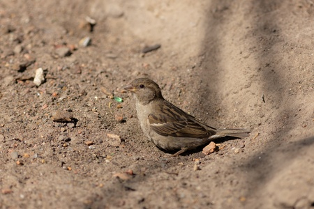passer    by: The sparrow often bathes in dust (passer domesticus)