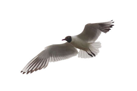 Portrait of a seagull in flight, isolated on white Stock Photo