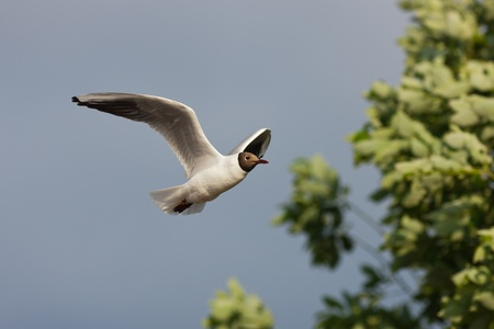 Portrait of a seagull in flight against the sky Stock Photo - 10283781