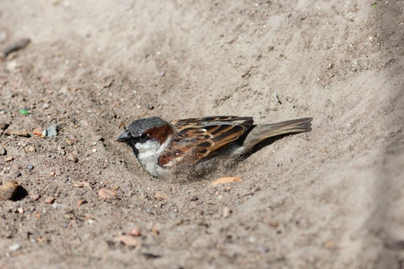 domesticus: The sparrow often bathes in dust (passer domesticus)