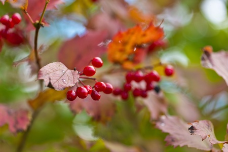 guelder rose berry: Branch of a arrowwood with ripe berries