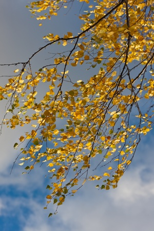 Branches of an autumn birch against the sky photo